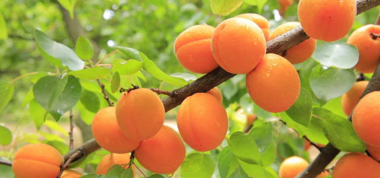 recette du masque à l'abricot